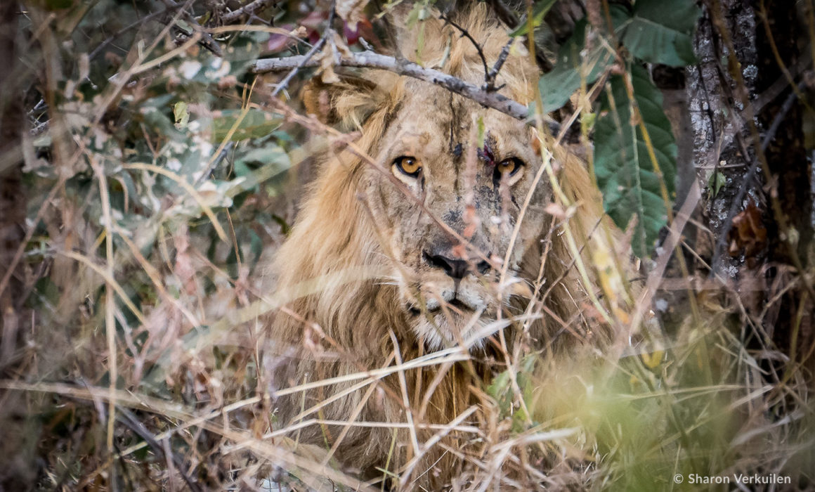Lion in the thicket in Luambe National Park