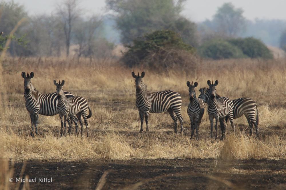 Luambe National Park Zebra Michael Riffel