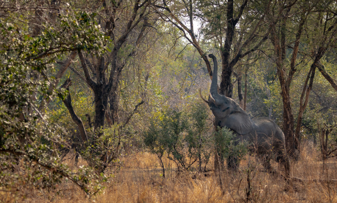 Elephant reaching to eat food in Luambe National Park