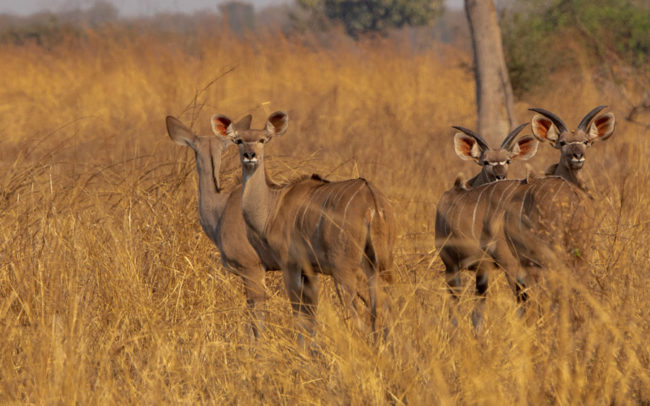 Game Viewing activities - Kudu in Luambe National Park