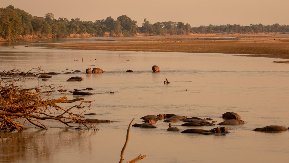 Hippo in the water, in the Luangwa Valley
