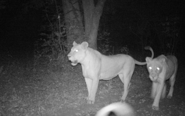 Camera Trap footage of Lions in Luambe National Park