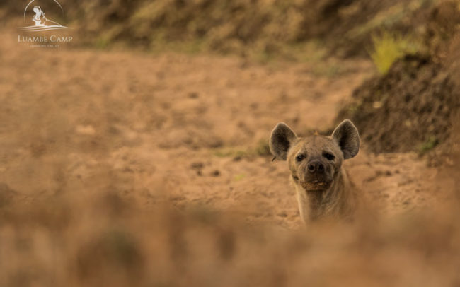 Single hyena in Luambe National Park