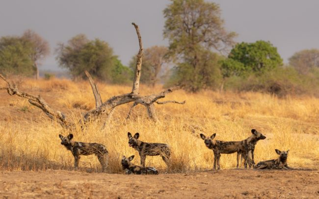 Pack of wild dog in Luambe National Park
