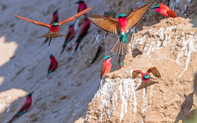 Carmine Bee Eaters in Luambe National Park