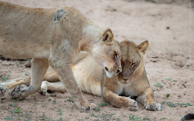 Two lion in Luambe National Park