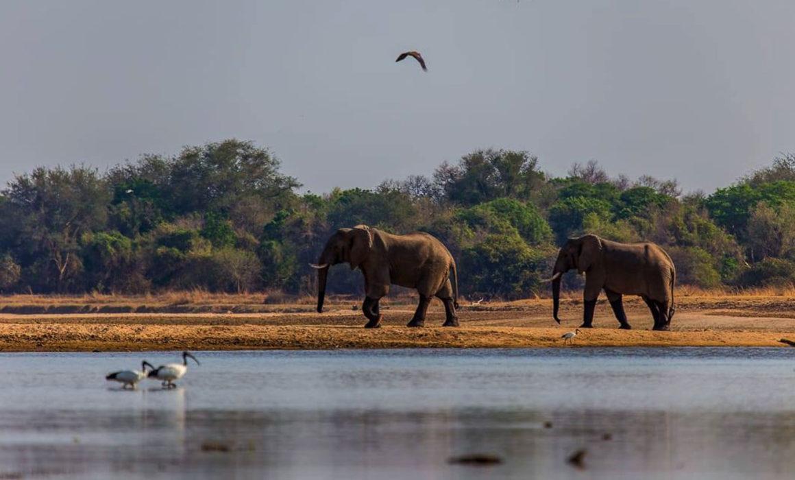 Elephants walking in Luambe National Park