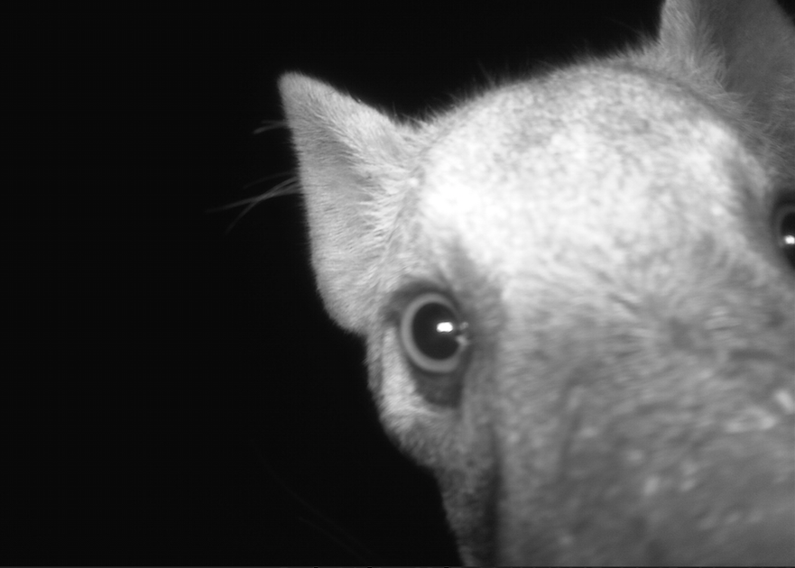 Camera Traps footage of hyena in Luambe National Park