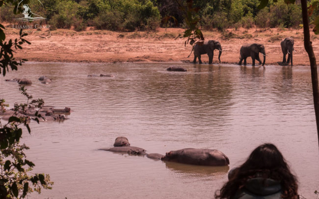 Three elephants walking through the Luangwa River