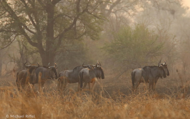 Blue wildebeest in Luambe National Park