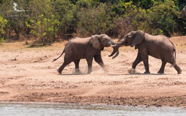 Two elephants fighting on the the banks of the Luangwa River