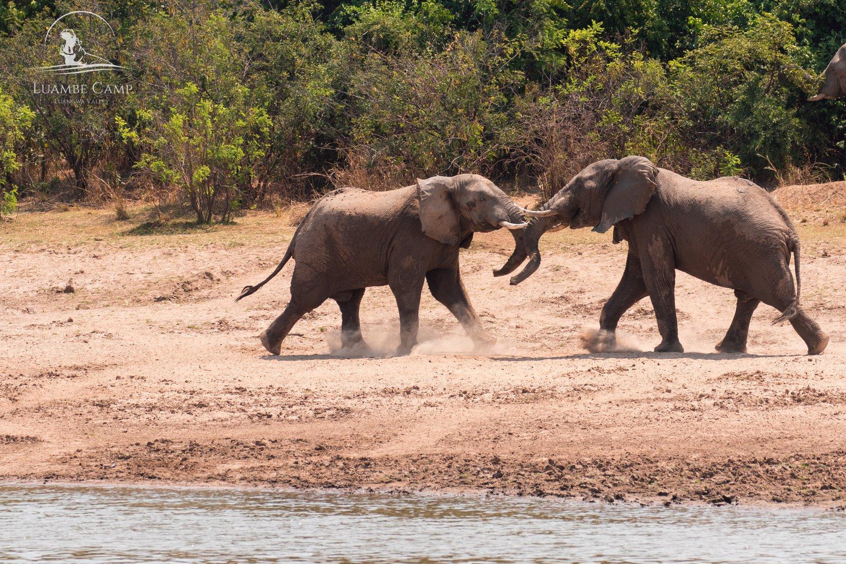 Luangwa Valley Luambe Camp Elephants Fighting