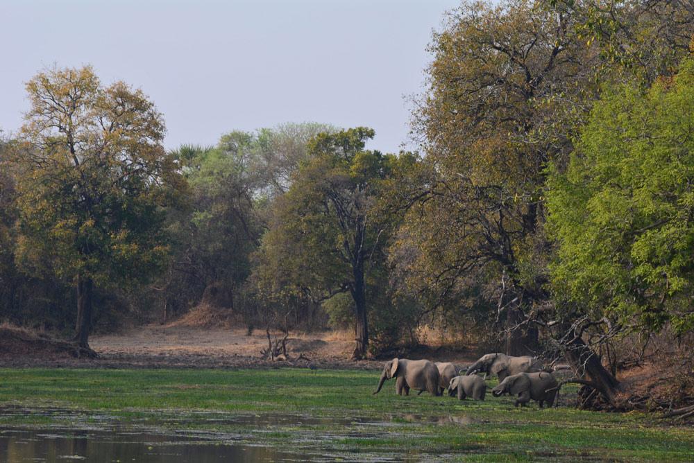 Luangwa Valley Luambe Elephants Uambe National Park Luangwa Valley Zambia