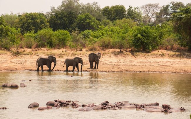 Elephant and Hippos in the Luangwa River