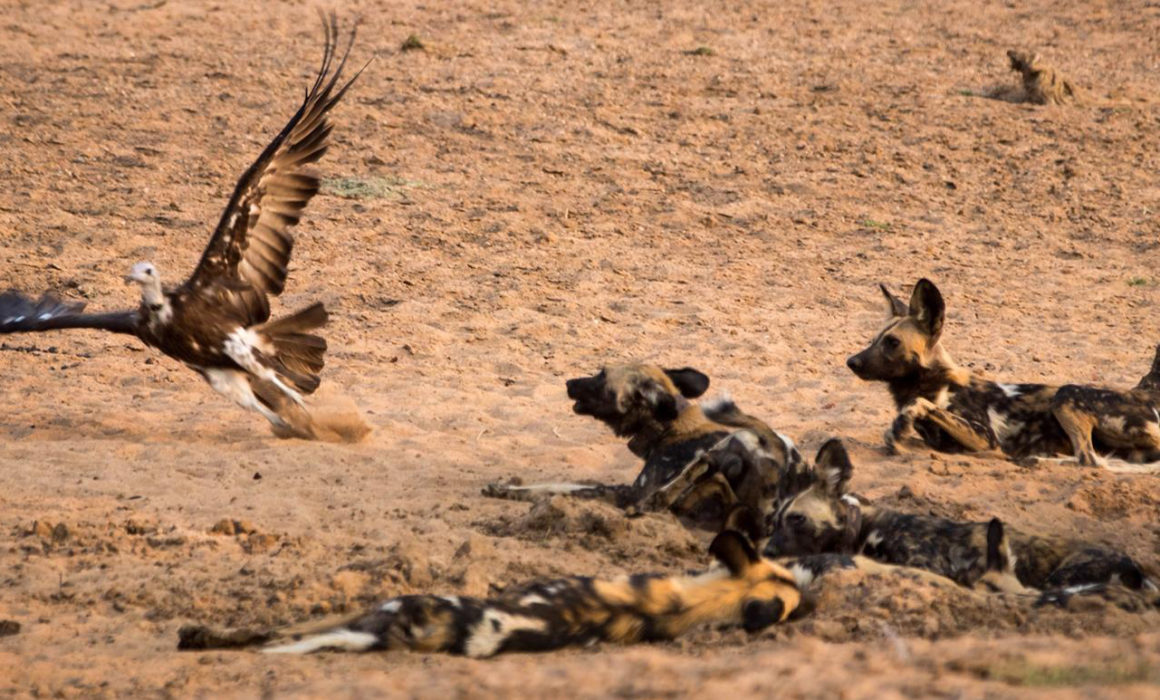Wild dog and a vulture in Luambe National Park, Luangwa Valley -