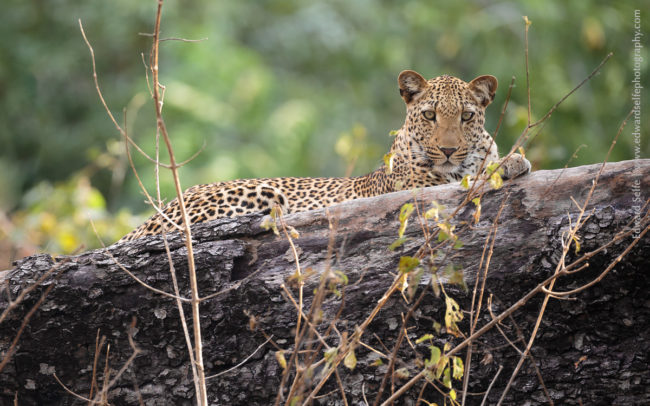 Leopard in a tree in Luambe National Park