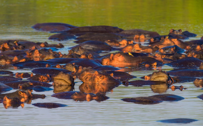 Group of hippos in front of Luambe Camp