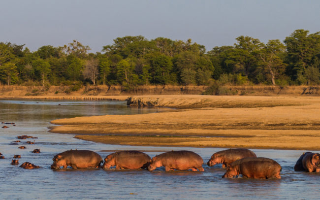 Group of hippos walking in the Luangwa River