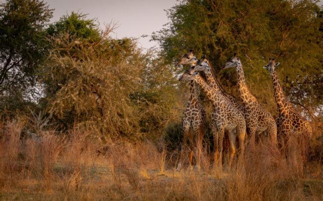 Thornicroft giraffe in Luambe National Park