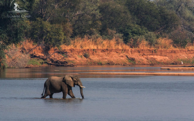 Elephant walking through the river in Luambe National Park