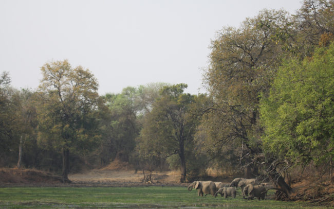 Elephants standing in the Luangwa River