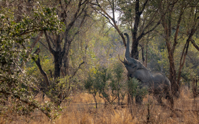 Elephant reaching through the trees in Luambe National Park
