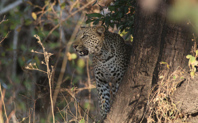 Luambe Conservation Project - Leopard in the Luangwa