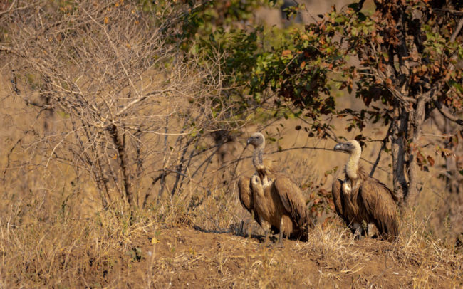 Vultures in Luambe National Park