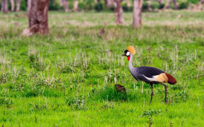 Crane walking through Luambe National Park