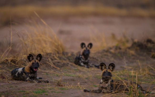 Three wild dog in Luambe National Park