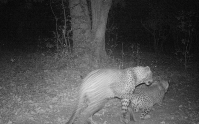 Two leopard seen on a camera trap in Luambe National Park